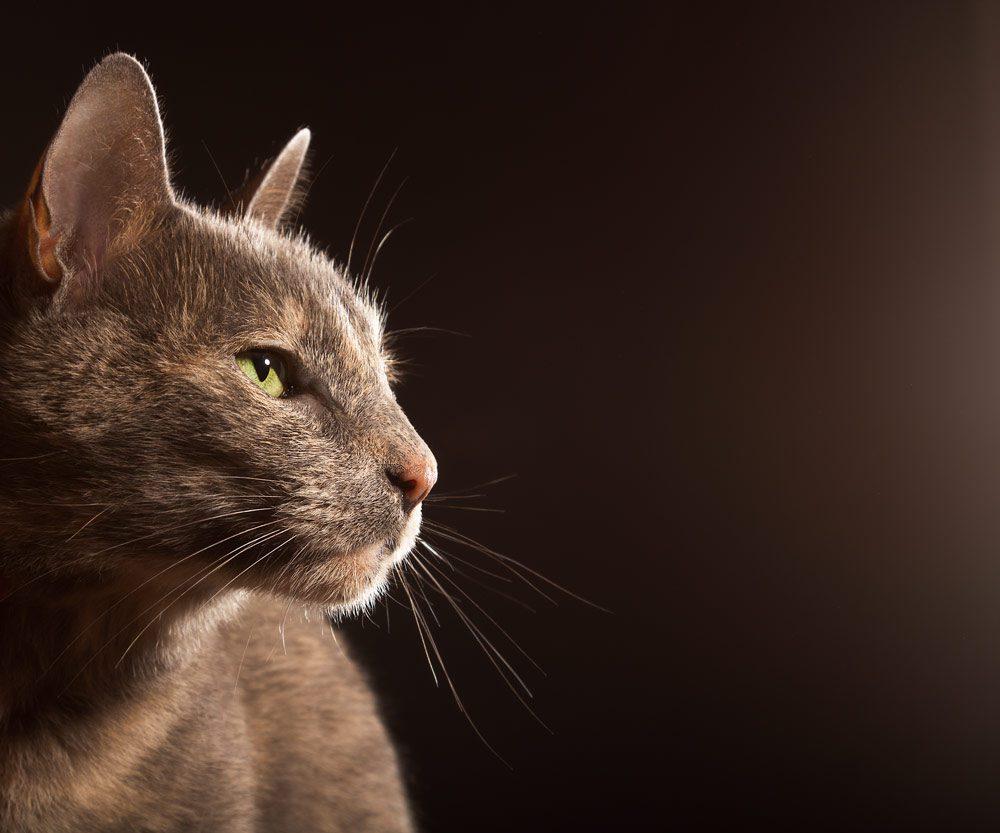 fotografía profesional retrato gata gris en buenos aires