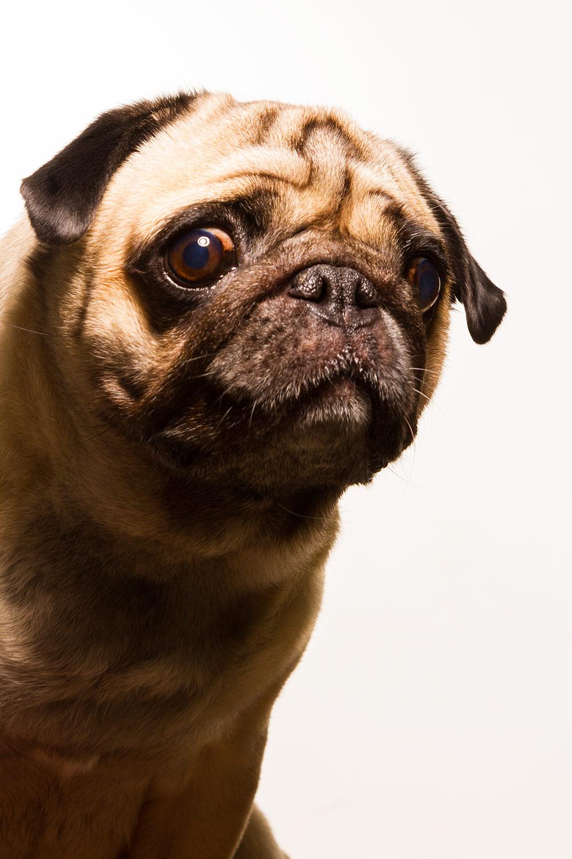 otografía profesional retrato perro pug en buenos aires