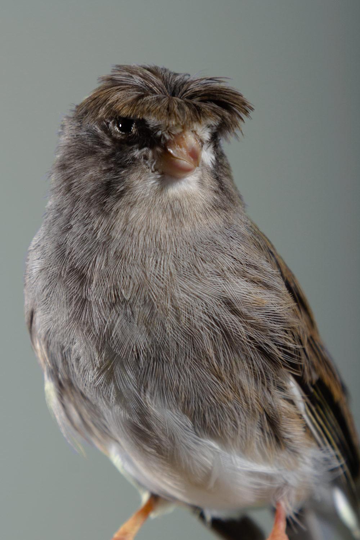 retrato de pajarito gris con flequillo