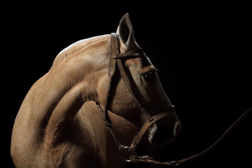 retrato de caballo color crema fotografía profesional