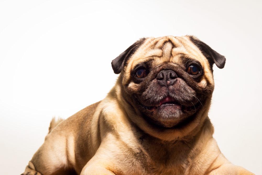 fotografía profesional retrato perro pug en buenos aires