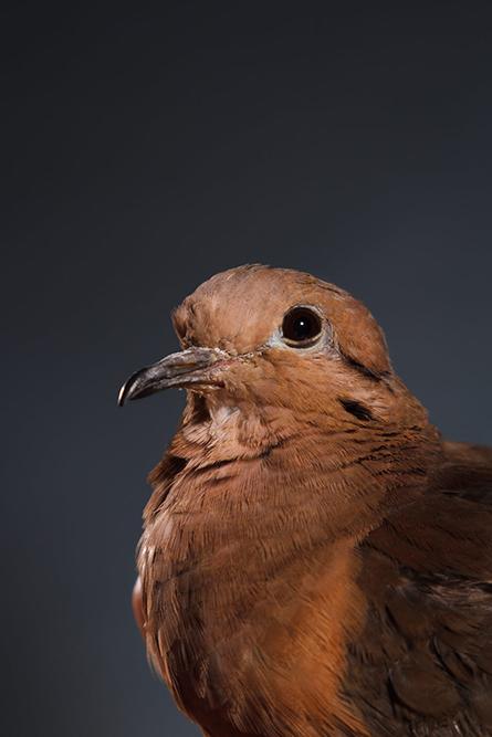 fotografía profesional retrato paloma marrón en buenos aires