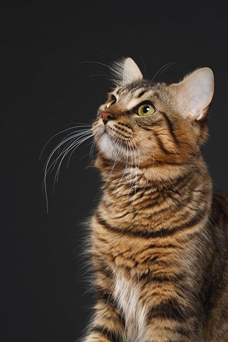 fotografía profesional retrato gato barcino de pelo largo en buenos aires