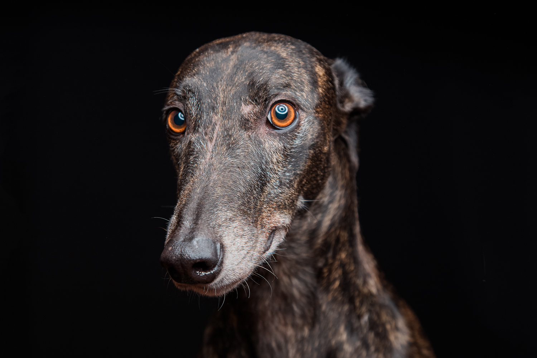 perro galgo fondo negro animal print