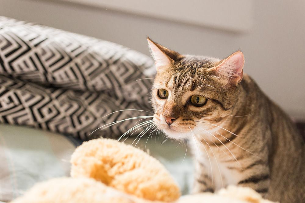 gato mirando su juguete