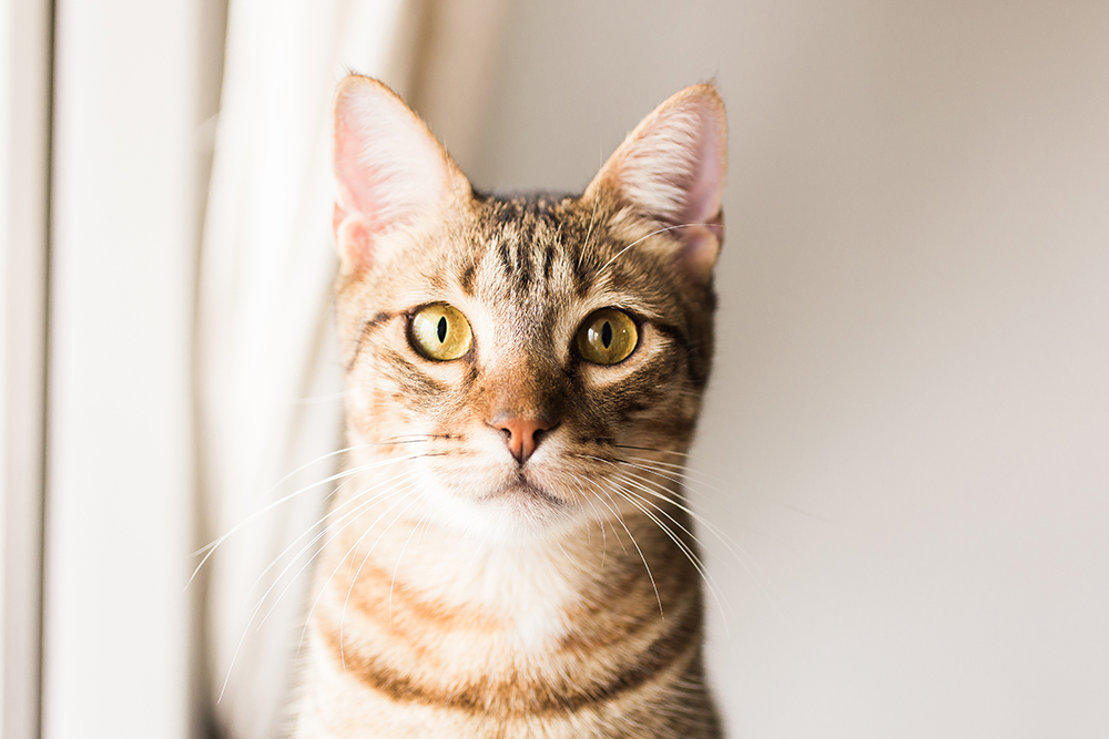 gato barcino mirando a camara